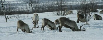 Lapland photo tips Reindeer digging for food