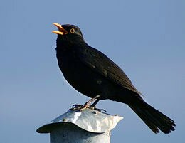 common blackbird is national bird of sweden